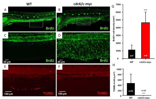Comparison of cell proliferation and apoptosis in WT and cdc6/c-myc transgenic zebrafish.