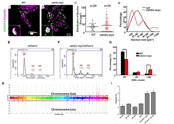cdc6/c-myc co-overexpression induces polyploidy and chromosomal instability in transgenic zebrafish and human cell.
