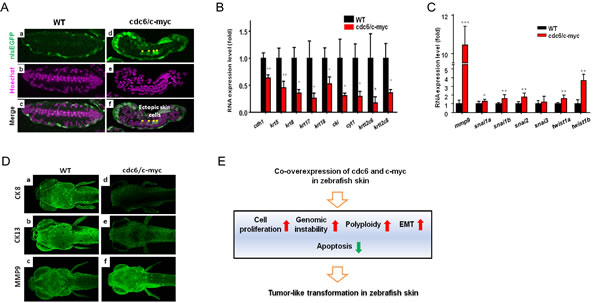 Deregulation of EMT markers and detection of polyploidy in the pectoral fin of cdc6/c-myc transgenic zebrafish and in human cancer cells.