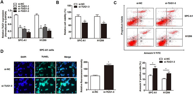 The effect of TUG1 on cell viability and apoptosis in LAD cell lines.