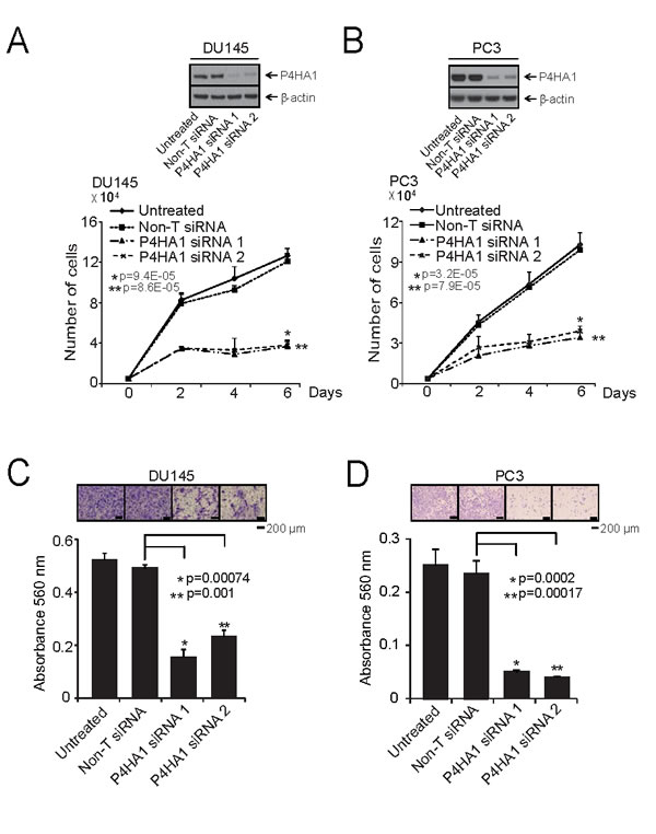 P4HA1 is essential for prostate cancer cell proliferation and invasion.