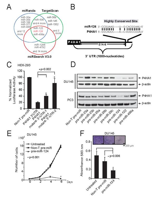 miR-124 targets and down-regulates P4HA1.