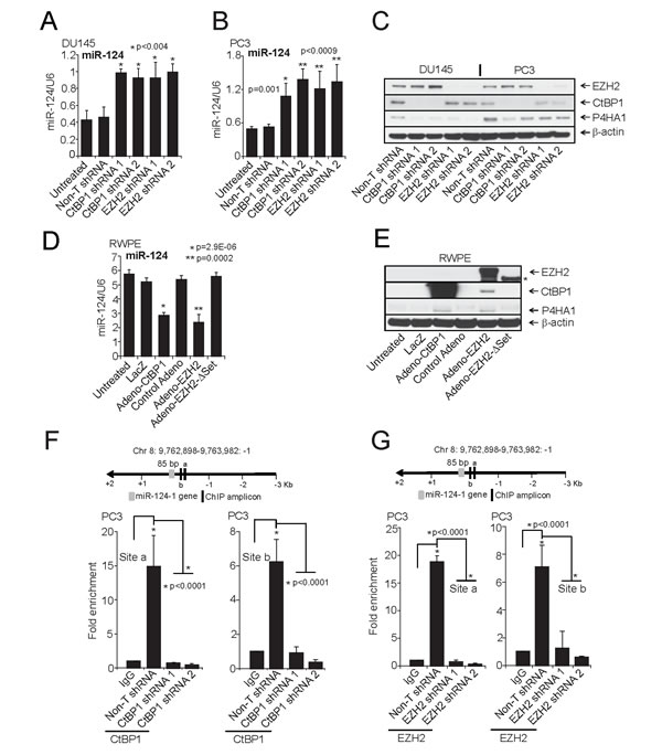 CtBP1 and EZH2 maintain P4HA1 expression by down-regulating miR-124.