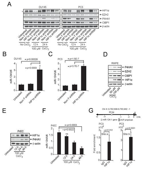 HIF1α modulates P4HA1 expression by down-regulating miR-124.