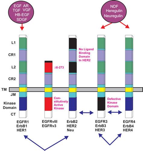 Epidermal Growth Factor Receptor Family.