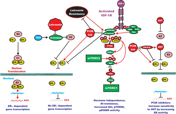 Effects of PI3K/PTEN/Akt/mTORC1 on Aromatase Resistance and Sensitivity to Tamoxifen (4HT).