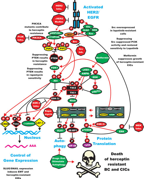 Sites of Resistance in the HER2/PI3K/PTEN/Akt/mTORC Pathway and Potential Sites for Intervention with Small Molecule Membrane-Permeable Inhibitors and Monoclonal Antibodies (MoAbs).