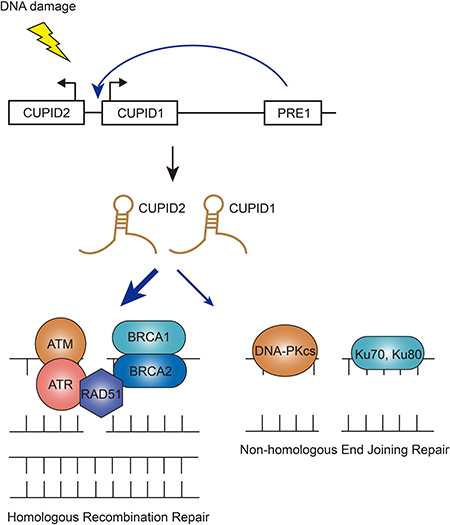 Functions of CUPID1/CUPID2 in DSB repair pathways.