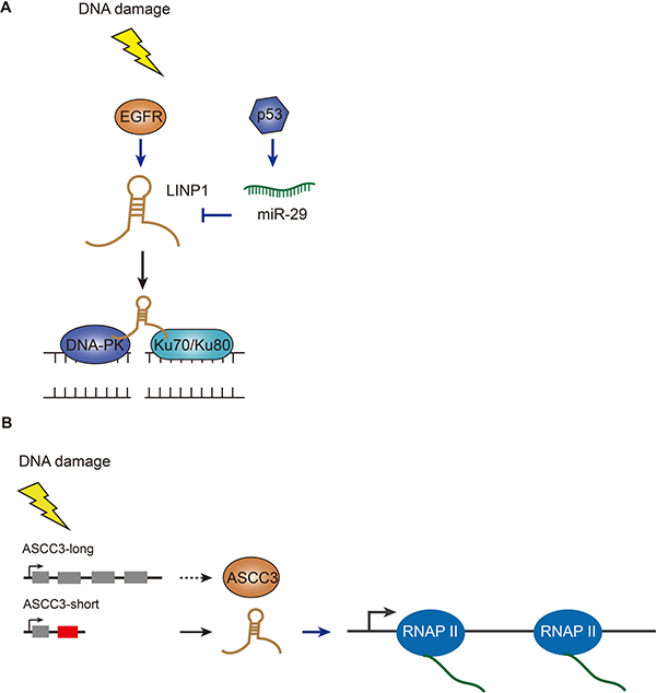 Functions of LINP1 and ASCC3 in DSB repair pathways.