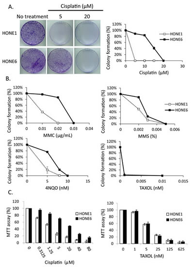 The cisplatin resistant NPC cells, HONE6 cells, are resistant to DNA damage agents.