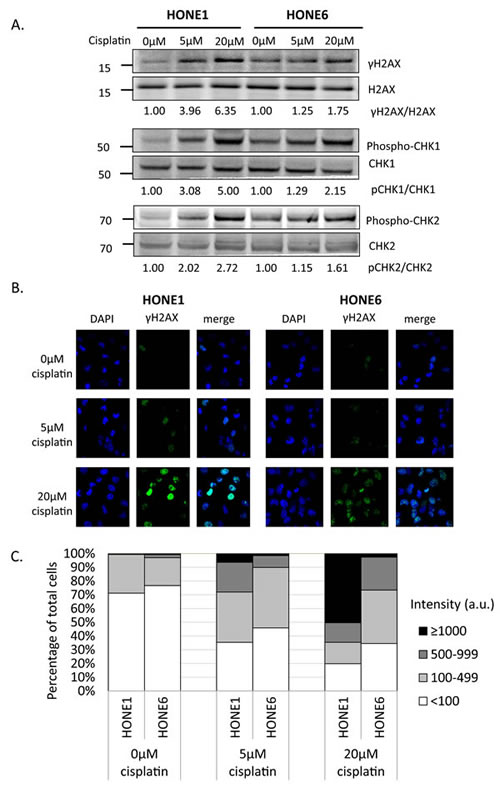 Cisplatin induces DNA damage both in HONE1 and HONE6 cells.