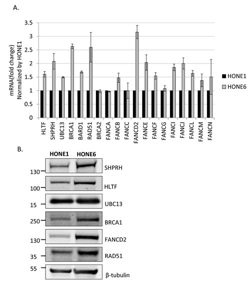 Several genes in the FA, HR, and TS pathway are overexpressed in cisplatin resistant HONE6 cells.