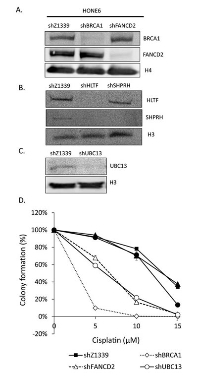 TS- or HR-deficient HONE6 cells are sensitive to cisplatin.