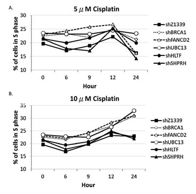 BRCA1-, FANCD2-, and UBC13-deficient cells accumulate in the S phase in the presence of 10µM cisplatin treatment.