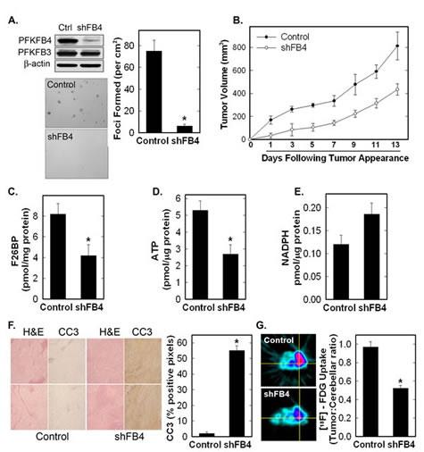 Stable shRNA Knock-Down of PFKFB4 Reduces Tumor Growth, Glucose Uptake and F2,6BP, and Increases Apoptosis.