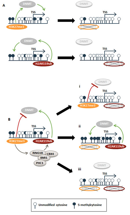 Model for how H3K27me3 and H2AK119ub epigenetic signatures modulate DNA methylation patterns.
