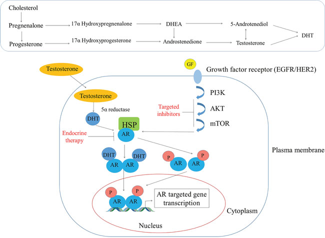 Androgen's mode of action in the breast tissue.