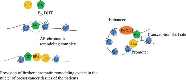 Schematic of a cartoon depicting AR and ERα interaction.