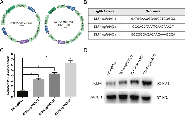 The CRISPR-ON system upregulated the expression level of KLF4.