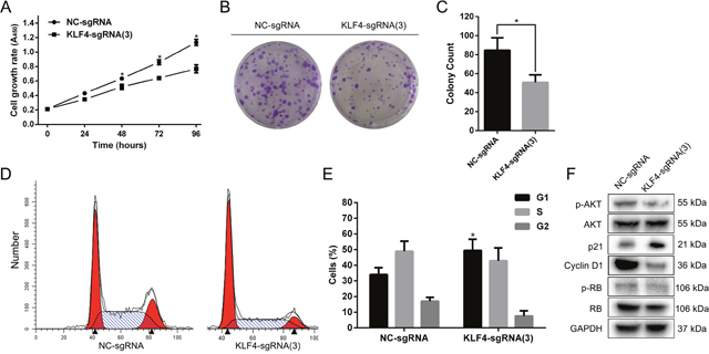 Overexpressed KLF4 abrogated the proliferation and induced G1-phase arrest in T24 cells.