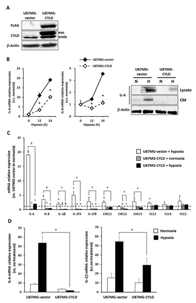 Overexpression of CYLD inhibited hypoxia-induced inflammatory responses.