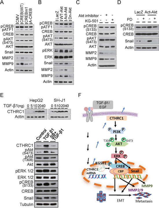 Downstream signaling of CTHRC1.