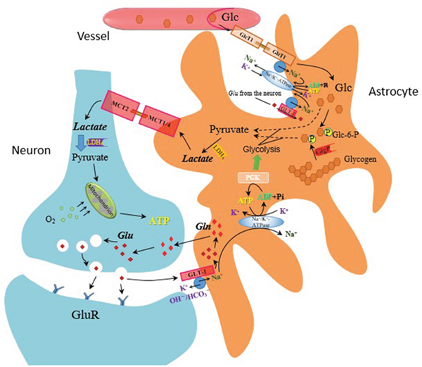 The astrocyte-neuron lactate shuttle hypothesis—mechanism of lactate production on glutamate release.