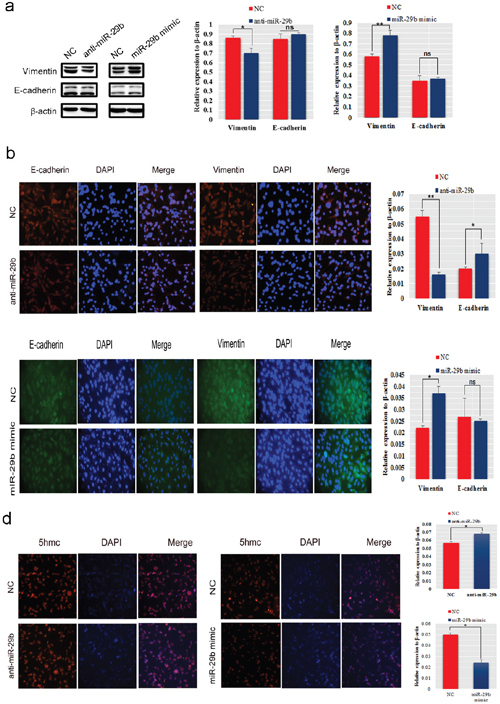 MiR-29b promoted EMT and regulated epigenetic changes in BC cells.