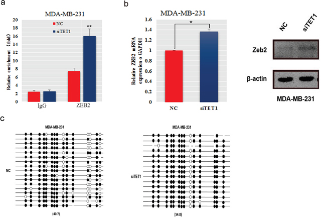 The expression and methylation levels of the ZEB2 gene in MDA-MB-231 cells transfected with siTET1.