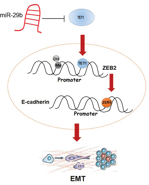 Schematic overview of the molecular function of miR-29b in BC cell lines.