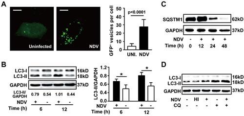NDV infection induces autophagy and preserves autophagic flux.