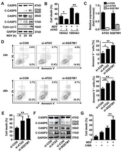 Autophagy blocks NDV-induced apoptosis.
