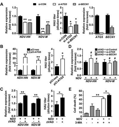 Autophagy promotes viral replication by mitigating apoptosis.