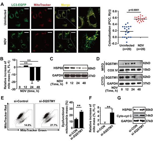 SQSTM1-mediated mitophagy controls cytochrome c release in NDV-infected cells.