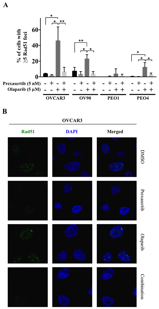 Chk1 inhibition suppresses the nuclear Rad51 foci formation in response to olaparib treatment.