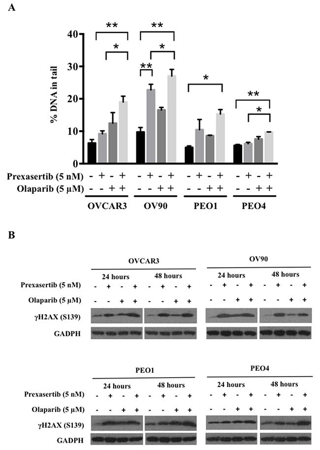 Prexasertib and olaparib cause DNA damage in HGSOC cells.