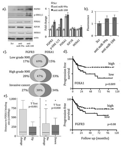 Regulation of FOXA1 expression by microRNAs-99a/100 in bladder cancer.