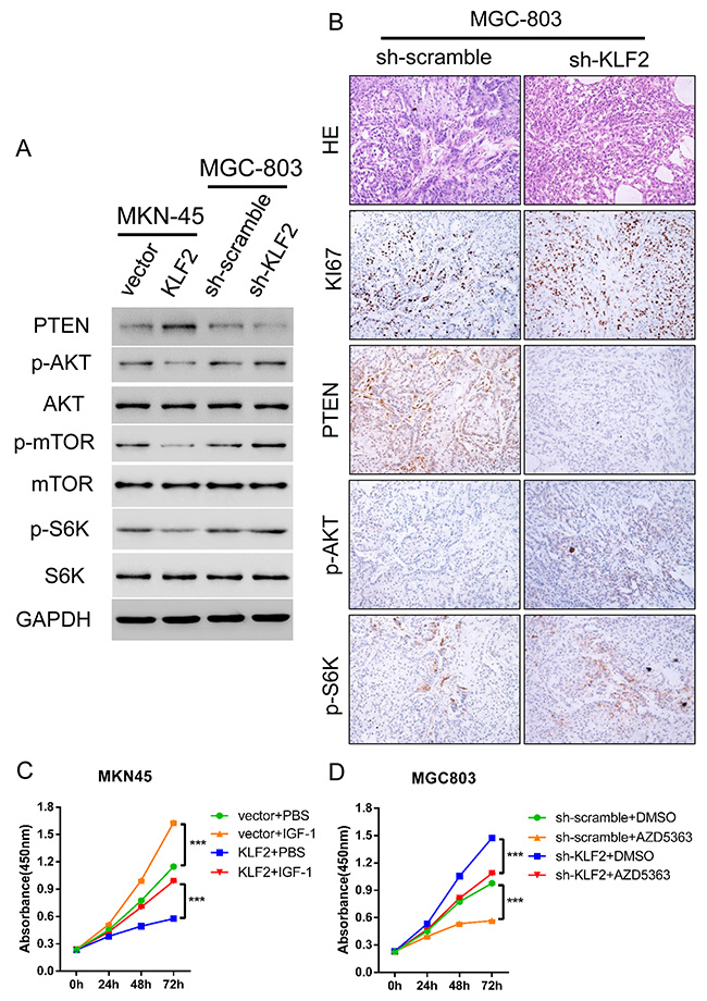 KLF2 activation of PTEN results in reduced Akt-mTOR signaling in GC cells.