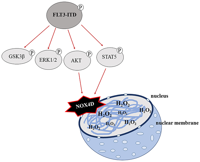 A schematic of the proposed mechanism of FLT3-ITD-driven NOX4D-generated H2O2 in AML.