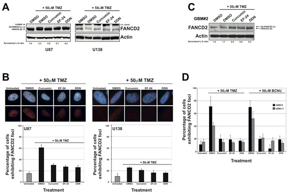 The FAPi curcumin, EF-24 and DDN inhibit FA pathway activation in immortalised and primary glioma cell cultures.