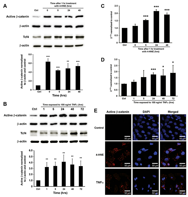 4-HNE and TNFα mediate MIBE-induced Wnt/β-catenin activation.