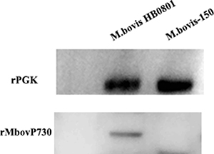 Expression of the MbovP730 in M. bovis strains.