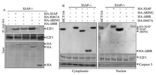 Determination of XIAP