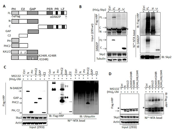 Determination of interactive domain in DAB2IP with Skp2 and its ubiquitination sites (A) Schematic representation of DAB2IP domain construct and the recognition sites of each antibody.