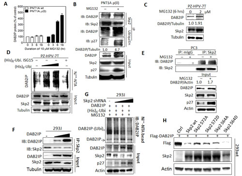 Regulation of DAB2IP expression by Skp2 mediated UPS (A) PNT1A wt, and ρ(0) cells were treated with MG132 (10 µM) for the indicated duration, and the DAB2IP expression was analyzed using western assays.