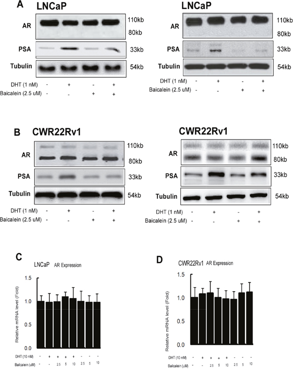 Baicalein inhibited AR transactivation is not via changing AR protein expression or stability.