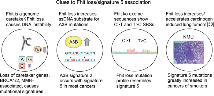 Features of cells with FHIT loss (above circles), and specific mutational signatures (below circles).
