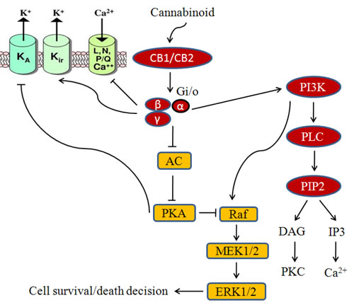 Fig.2: Cannabinoid mediated signaling in cancer cells.