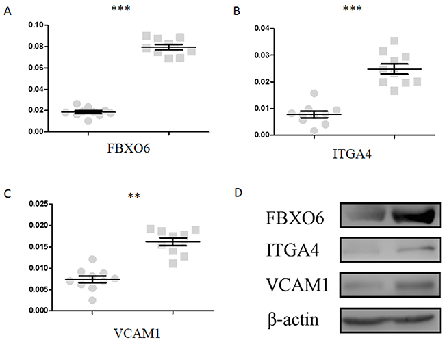 Validation of FBXO6, ITGA4 and VCAM1 through qPCR and Western blot.