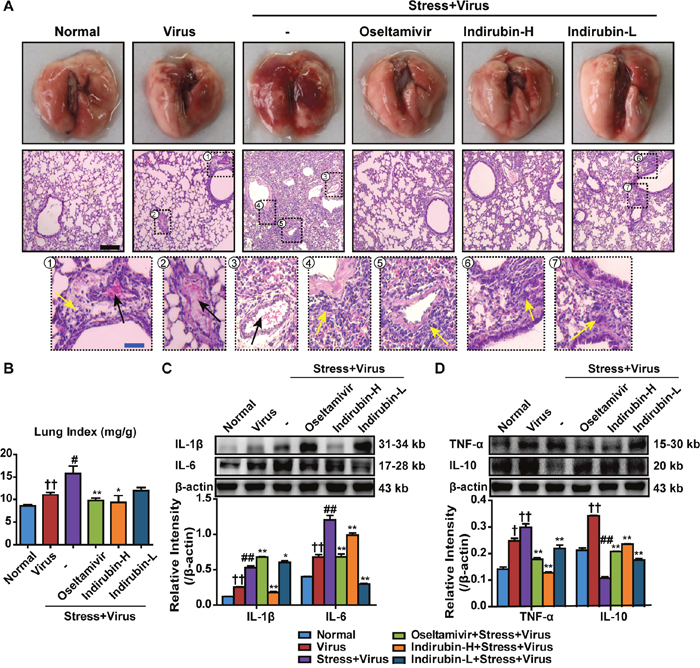 Indirubin protects against pneumonia caused by influenza infection in stressed mice.